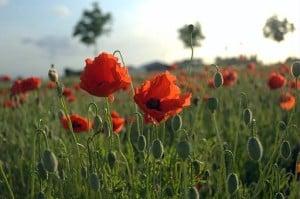 Poppies_Field_in_Flanders
